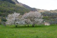 ciliegi-bianchi-sam