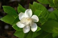 fiore-di-gardenia-appena-aperto