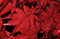 foglie-di-acero-rosso-in-autunno