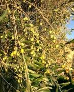 olive-con-sole